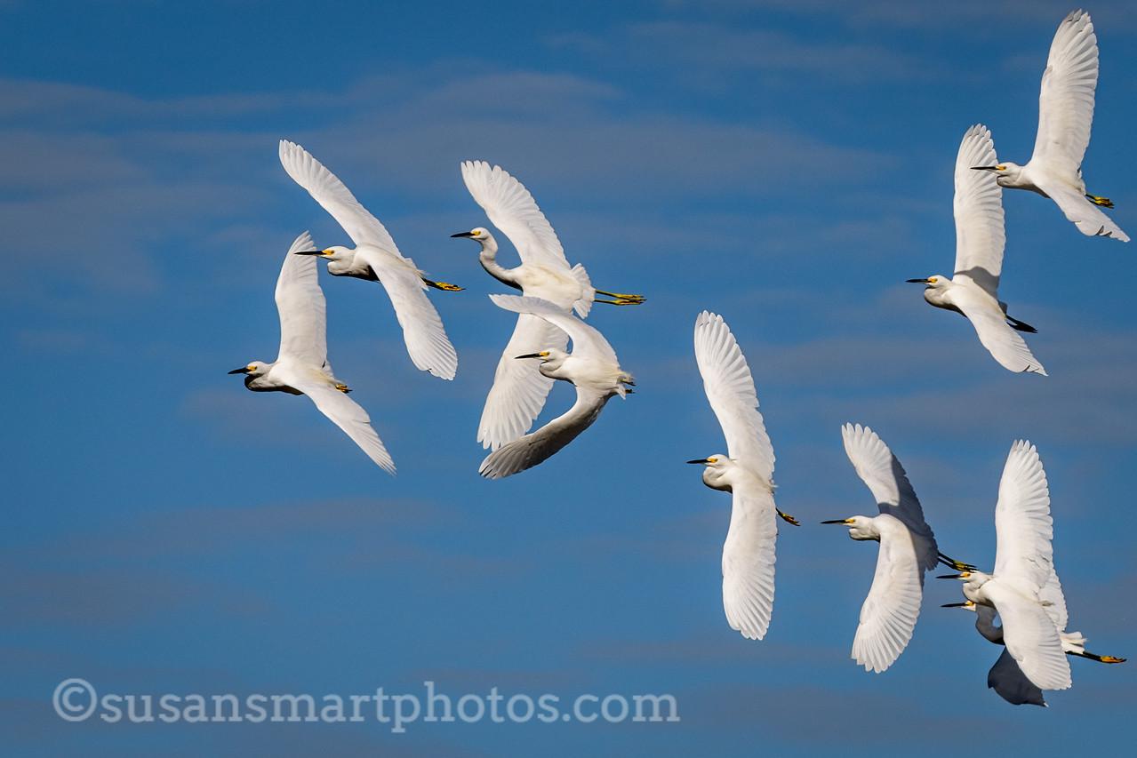 Snowy Egrets at Ding Darling National Wildlife Refuge