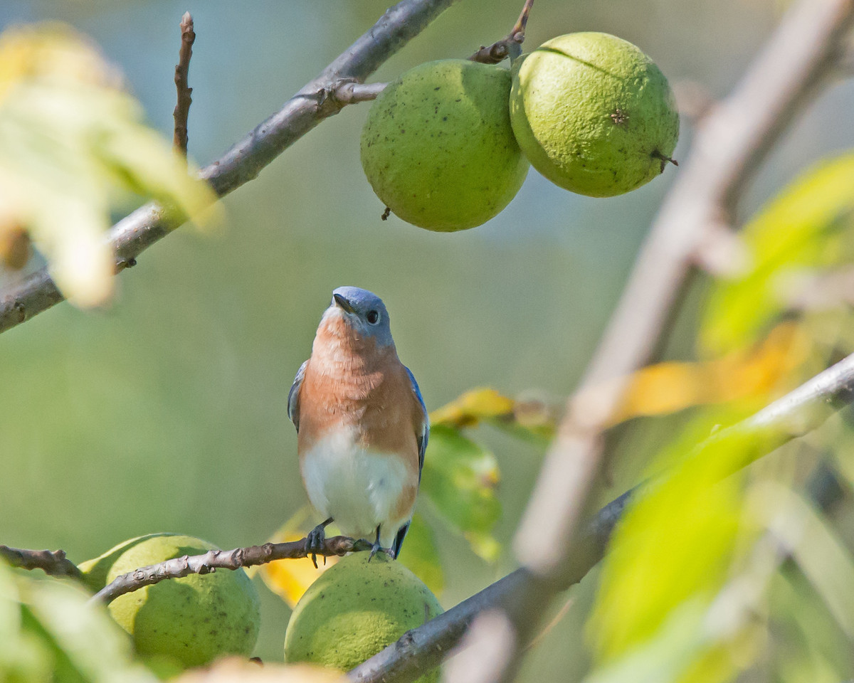 Blue Bird with Walnuts