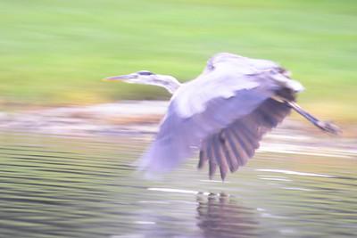 Graet Blue Heron