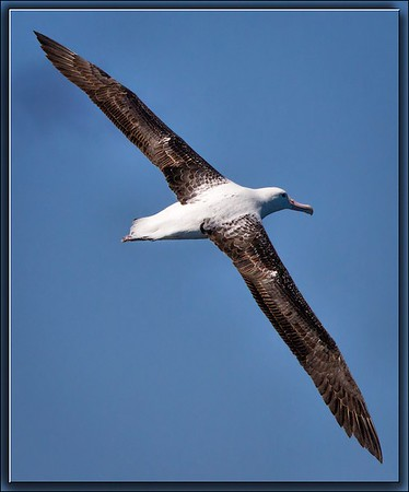 Northern Royal Albatross