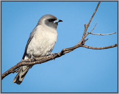 Masked Woodswallow    ♀