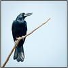 Black Butcherbird