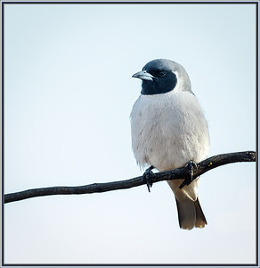 Masked Woodswallow    ♂