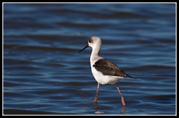 White-headed Stilt
