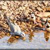 Diamond Dove(& Long-tailed Finch)