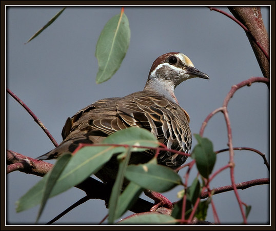 Common Bronzewing     ♂