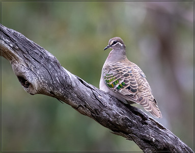 Common Bronzewing    ♀