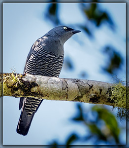 Barred Cuckooshrike