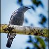 Barred Cuckooshrike