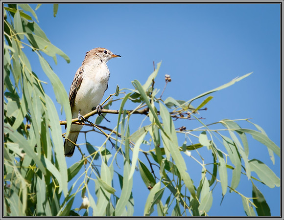 White-winged Triller♀