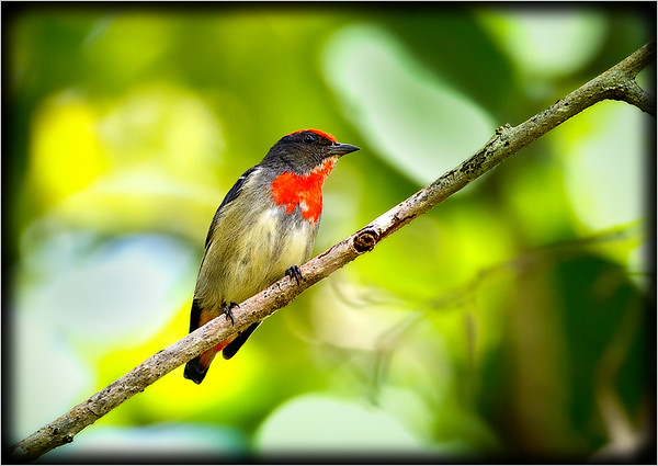 Red-capped Flowerpecker    ♂