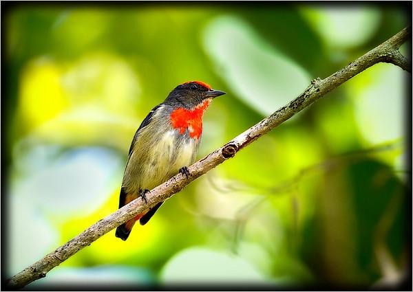 Red-capped Flowerpecker♂