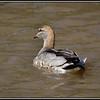 Maned Duck♀
