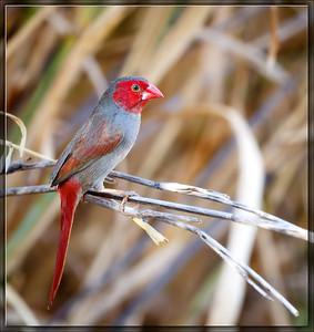 Crimson Finch♀
