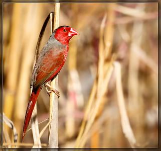 Crimson Finch♂