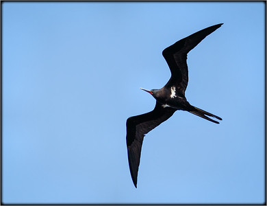 Lesser Frigatebird♂