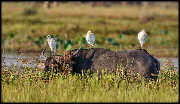 Eastern Cattle Egret    (Water Buffalo)