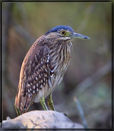 Nankeen Night Heron