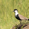 Spur-winged Lapwing (Kenya)