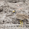 African Wattled Lapwing (South Africa)