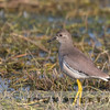White-tailed Lapwing (India)