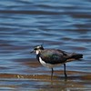 Northern Lapwing (United Kingdom)