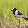 Blacksmith Lapwing (Kenya)