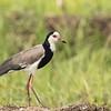 Long-toed Lapwing (Kenya)