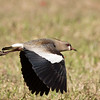 Southern Lapwing (Paraguay)