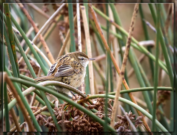 Little Grassbird