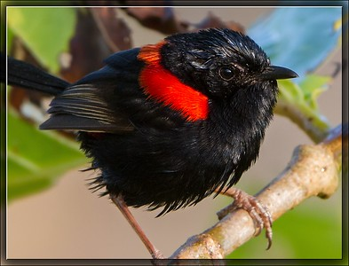 Red-backed Fairywren    ♂