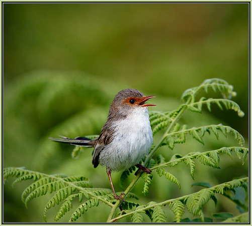 Superb Fairywren    ♀