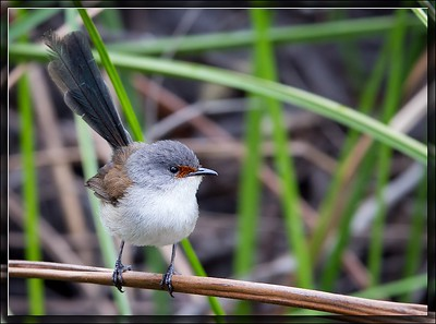 Red-winged Fairywren    ♀
