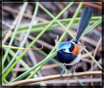 Red-winged Fairywren    ♂