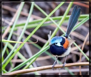 Red-winged Fairywren♂