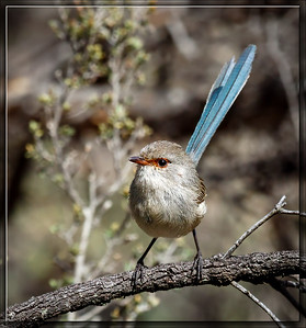 Blue-breasted Fairywren    ♀