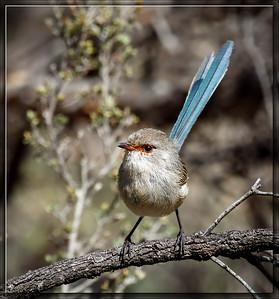 Blue-breasted Fairywren♀