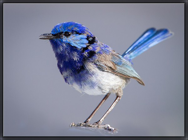 Splendid Fairywren    ♂