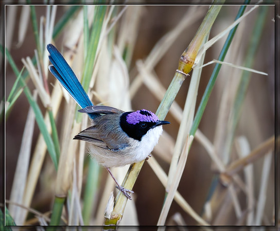Purple-crowned Fairywren♂