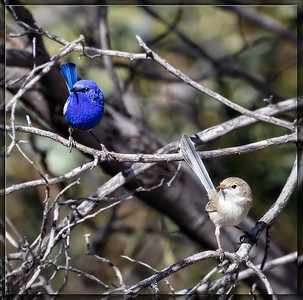 White-winged Fairywren    ♂  +  ♀