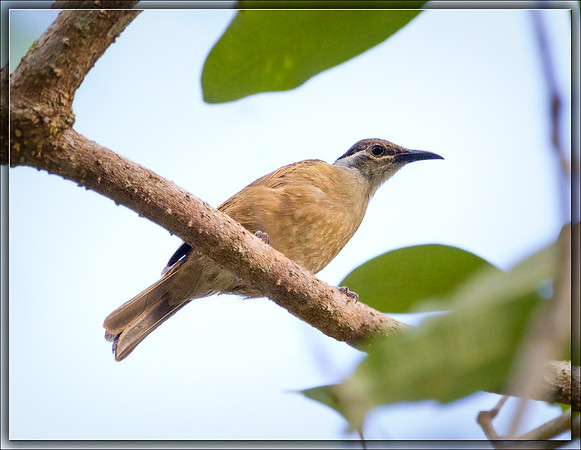Tawny-breasted Honeyeater