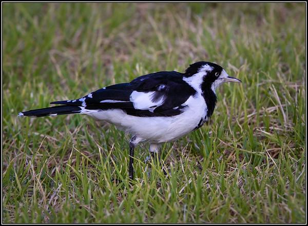 Magpie-lark♀