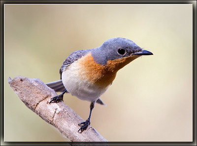 Satin Flycatcher