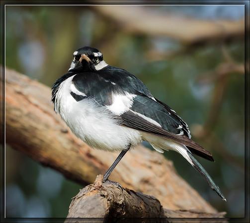 Magpie-lark♂