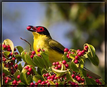 Australasian Figbird♂