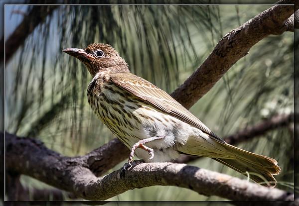 Australasian Figbird♀