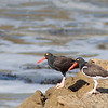 American and Black Oystercatchers