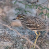 Indian Thick-knee (India)