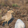 Peruvian Thick-knee (Peru)