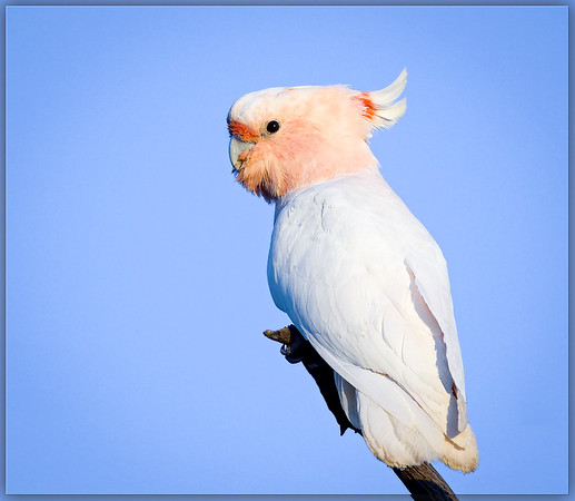 Major Mitchell's Cockatoo